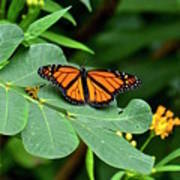 Monarch Butterfly Resting On Cassia Tree Leaf Art Print