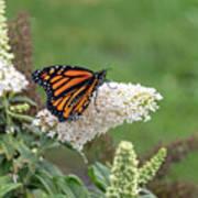 Monarch On A Butterfly Bush Art Print