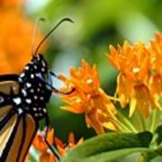 Monarch On Asclepias Art Print