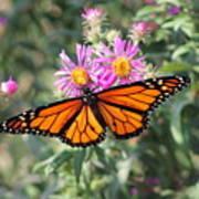 Monarch On Blanket Flower Art Print