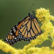 Monarch On Goldenrod Art Print