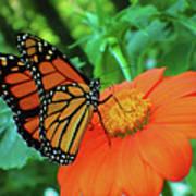 Monarch On Mexican Sunflower Art Print