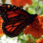 Monarch Series 8 Art Print