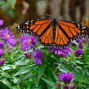 Monarch Spreading Its Wings Art Print