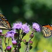 Monarchs And Blazing Star Art Print
