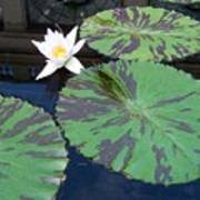 Monet Lilies White  Art Print
