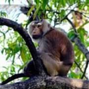 Monkey In Tree Art Print