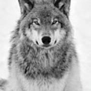 Monotone Timber Wolf  Art Print