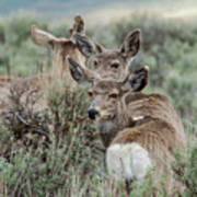 Montana Mule Deer On A Spring Night Art Print