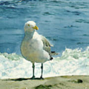 Montauk Gull Art Print by Tom Hedderich