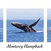 Monterey Humpback Art Print