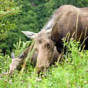 moose and Calf-1 Art Print