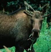 Moose At Lunch Art Print
