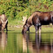 Moose Country Art Print