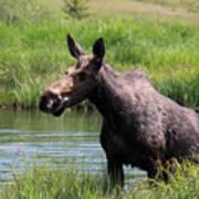Moose In The Pond - 2 Art Print