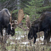 Moose. Males Fighting During The Rut Art Print