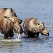 Moose Mama With Her Calf Art Print