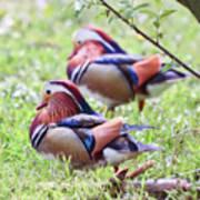 More Mandarin Ducks Art Print