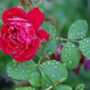 Morning Dew On A Rose Art Print