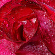 Morning Dew On Rose Art Print
