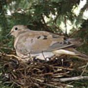 Morning Dove On Her Nest 2 Art Print