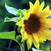 Morning Sunflower Art Print