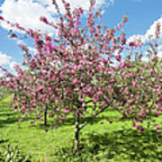 Moscow, Pink Cherries In Kolomenskoye Park Art Print