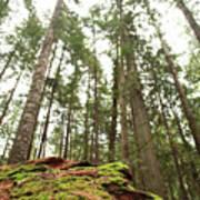 Moss Under The Cedars Art Print