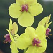 Moth Mullein Wildflowers - Verbascum Blattaria Art Print