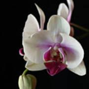 Moth Orchid 2 Art Print