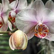 Moth Orchid Art Print