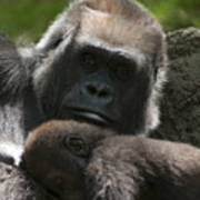 Mother And Child Gorillas1 Art Print