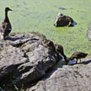 Mother And Her Ducklings Art Print