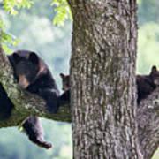 Mother Bear And Cubs Art Print