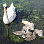 Mother Swan And Baby Cygnets Art Print