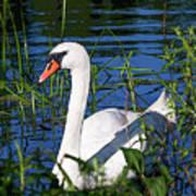 Mother Swan Art Print