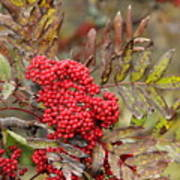 Mountain Ash With Berries Art Print