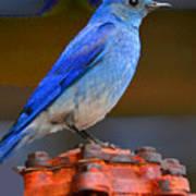 Mountain Blue Bird Art Print