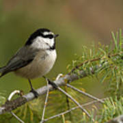 Mountain Chickadee Print by Beve Brown-Clark Photography