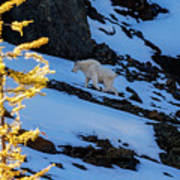 Mountain Goat And Larches Art Print