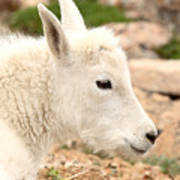 Mountain Goat Kid With Peaceful Gaze Art Print
