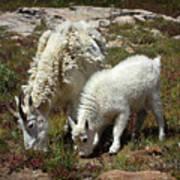 Mountain Goat Nanny And Kid Foraging At Columbine Lake - Weminuche Wilderness - Colorado Art Print