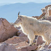 Mountain Goat Takes In Its High Altitude Home Art Print