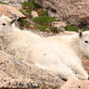 Mountain Goat Twins Art Print