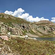 Mountain Goats At Columbine Lake - Weminuche Wilderness - Colorado Art Print