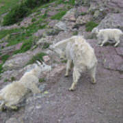 Mountain Goats Art Print