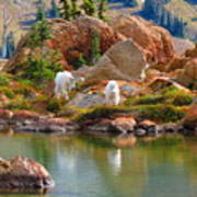Mountain Goats In Early Fall Art Print