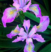 Mountain Iris In Flower California Art Print