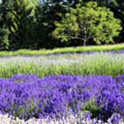 Mountainside Lavender Farm Art Print