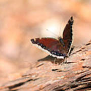 Mourning Cloak Butterfly Art Print